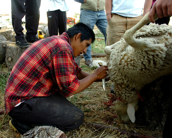 N0928FARM179.JPG <br />  Felipe Arbarca of Peru, dresses the lamb that will be cooked.<br /> Students from the Culinary School of the Rockies spend 10 days in Paonia, CO and the surrounding area learning where food comes from.<br /> <br /> <br /> Cliff Grassmick/ September 16, 2008