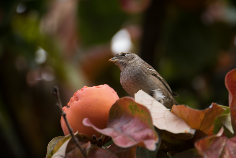House Finch feasting on a persimmon( not 100% on identification).