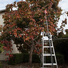 Two story tall Persimmon tree