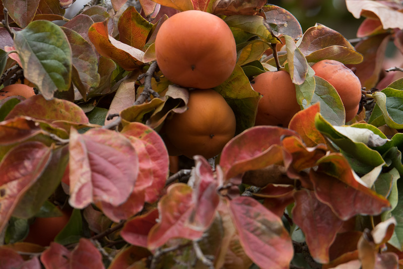 Persimmons along with leaves hanging on the tree