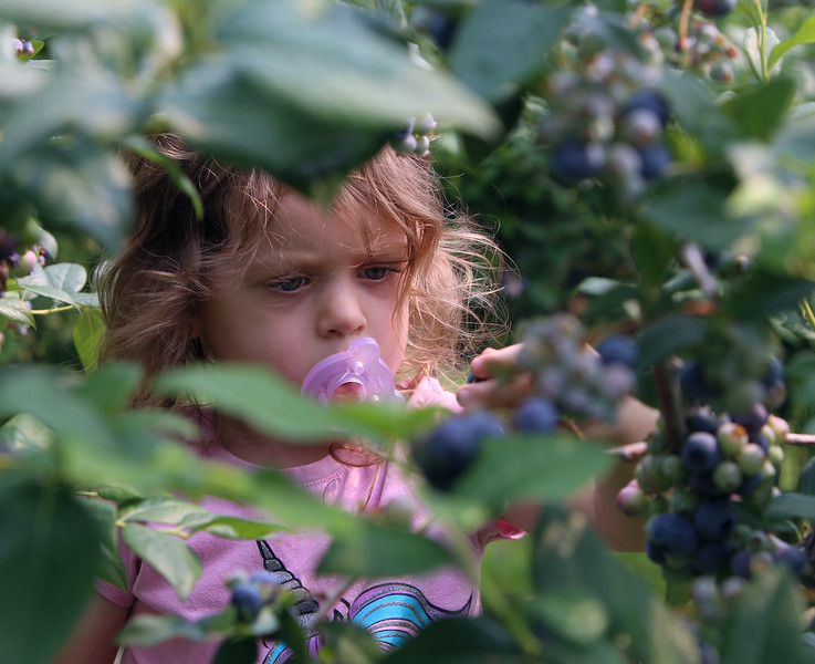 JUly 20, 2021 -- Pick your own blueberries is underway at Doe Orchards in Harvard, and is expected to run through mid-August. MadeleineWilson, 2, of Acton, picks blueberries with her family.  SUN/Julia Malakie