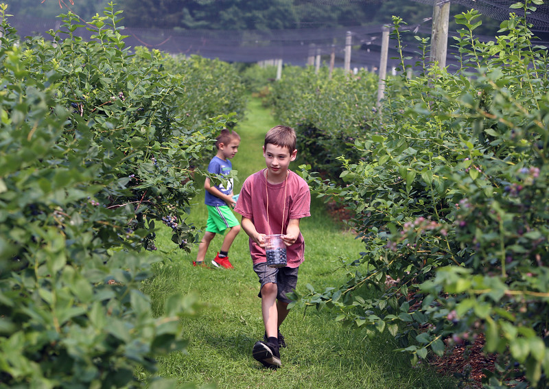 July 20, 2021 -- Pick your own blueberries is underway at Doe Orchards in Harvard, and is expected to run through mid-August.  James Grady, 8, front, and his cousin Clayton Wilson, 5, both of Acton, pick bluebarries. SUN/Julia Malakie