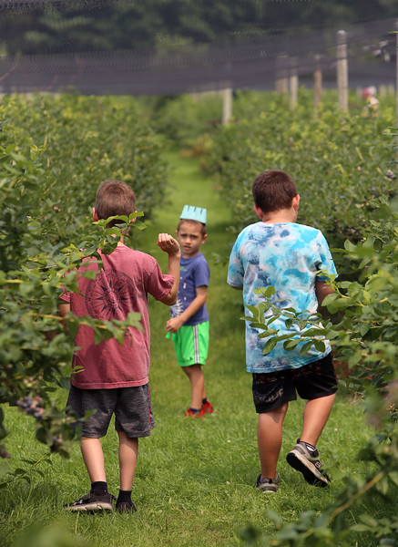 July 20, 2021 -- Pick your own blueberries is underway at Doe Orchards in Harvard, and is expected to run through mid-August.  From left, James Grady, 8, and his cousins, brothers  Clayton Wilson, 5, and Urban  WIlson, 7, all of Acton, pick bluebarries. SUN/Julia Malakie