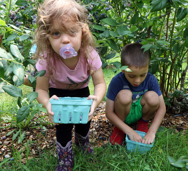 JUly 20, 2021 -- Pick your own blueberries is underway at Doe Orchards in Harvard, and is expected to run through mid-August. Madeleine Wilson, 2, and her brother Clayton, 5, of Acton.  SUN/Julia Malakie