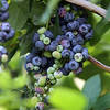 JUly 20, 2021 -- Pick your own blueberries is underway at Doe Orchards in Harvard, and is expected to run through mid-August.  SUN/Julia Malakie