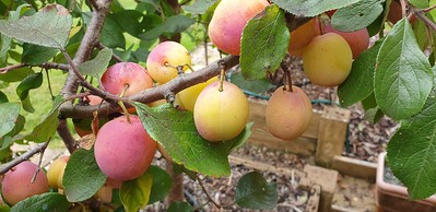 Harvesting Plums 4 September 2021