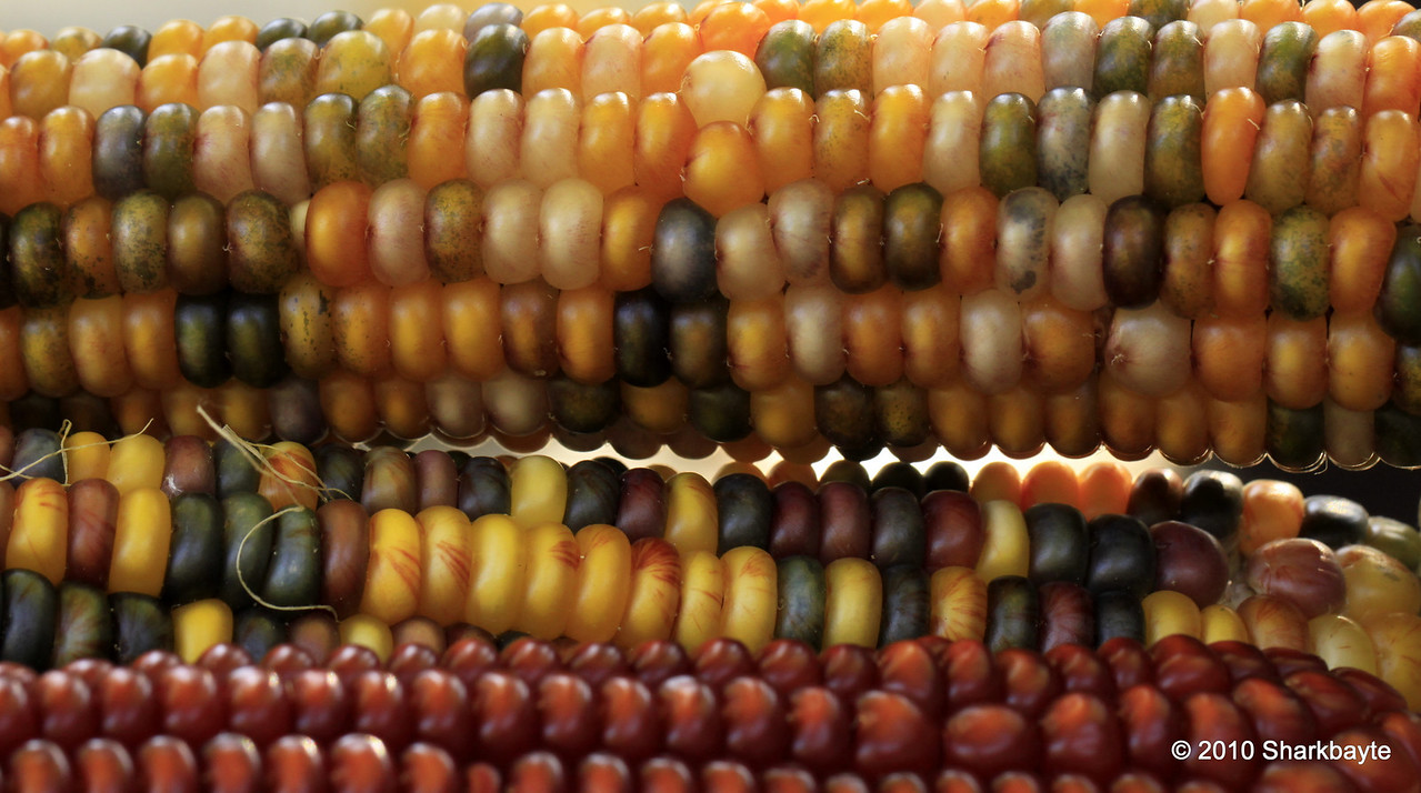 Corny shot. I found many names for these: Indian corn, field corn, red, blue or yellow corn. More simply Maize.  #365Project Day 306 (2010.11.02) @sharkbayte