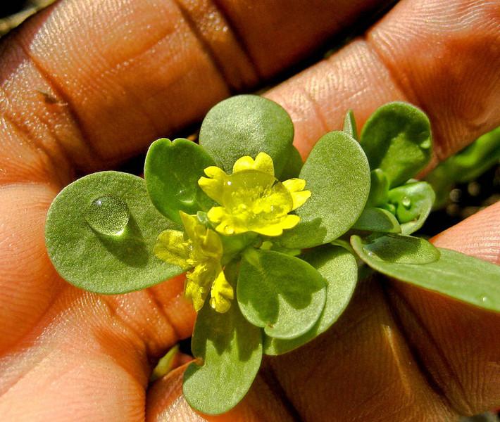 Purslane in flower