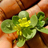 Purslane in flower