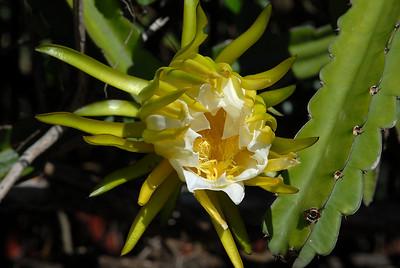 Hylocereus undatus in flower.
