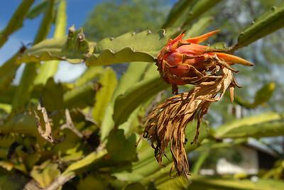 Wild-type dragon fruit: Hylocereus undatus.