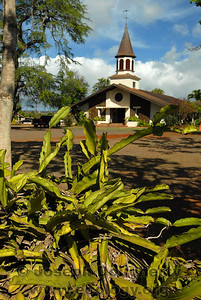 © Joseph Dougherty. All rights reserved.   Massive colony of Hylocereus undatus, the Dragon Fruit, growing over the lava-rock walls of a church yard in Haleiwa, Hawaii.