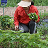 Mihee Park of Westford picks some sesame leaves, used as salad greens, at her family's plot at the Westford Community Garden. (SUN/Julia Malakie)