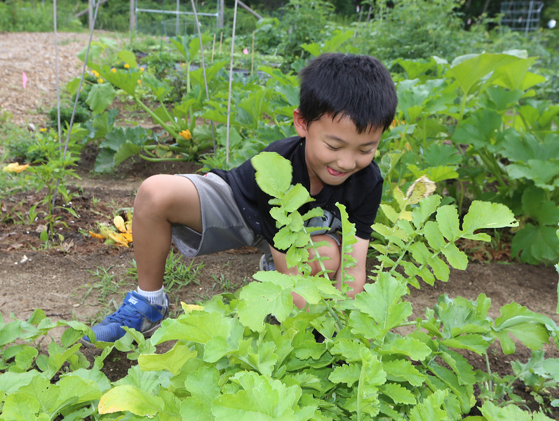 Mihee Park of Westford and her son Dohyun Yoon, 9, and daughter Dana Yoon, 6, work in their plot at the Westford Community Garden, and harvest some sesame leaves and Korean radishes. Dohyun Yoon works to pull up a Korean radish, which is used to make kimchi. (SUN/Julia Malakie)