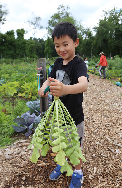 Mihee Park of Westford and her son Dohyun Yoon, 9, and daughter Dana Yoon, 6, work in their plot at the Westford Community Garden, and harvest some sesame leaves and Korean radishes. Dohyun Yoon washes off a Korean radish, which is used to make kimchi. (SUN/Julia Malakie)