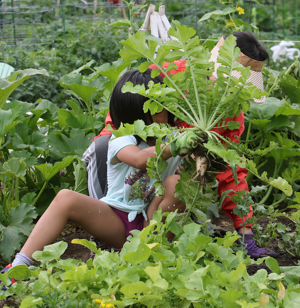 Mihee Park of Westford watches her daughter Dana Yoon, 6, pull up a Korean radish, an ingredient in kimchi, in their plot at the Westford Community Garden. (SUN/Julia Malakie)