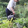 Sharon Knox of Westford waters her plot at Westford Community Gardens. (SUN/Julia Malakie)