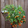 Tomatoes in hanging basket.