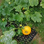 Yellow pumpkin 3