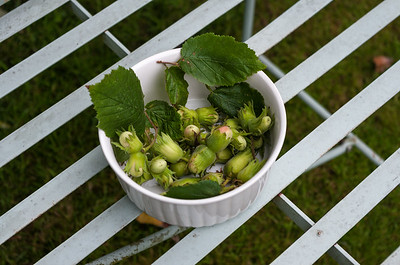 Hazelnuts on bench.