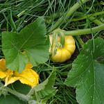 Yellow pumpkin 5