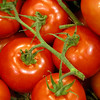 Vine Tomatoes  Copyright - W. Keith Baum | PhotoCanal.com