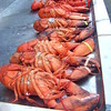 Lobster line-up