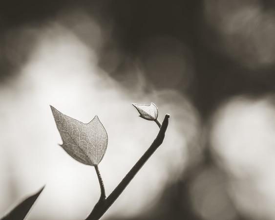 Summer ivy