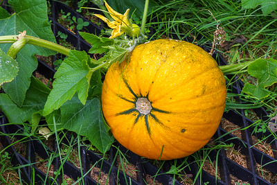 Yellow pumpkin 6