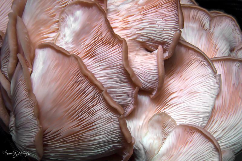 Pink Oyster Mushroom 9/27/2014