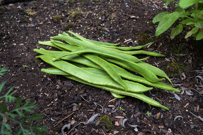 Runner beans on soil