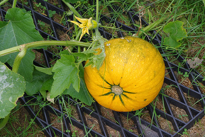 Yellow pumpkin 2