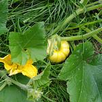 Yellow pumpkin 4