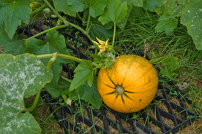 Yellow pumpkin 1