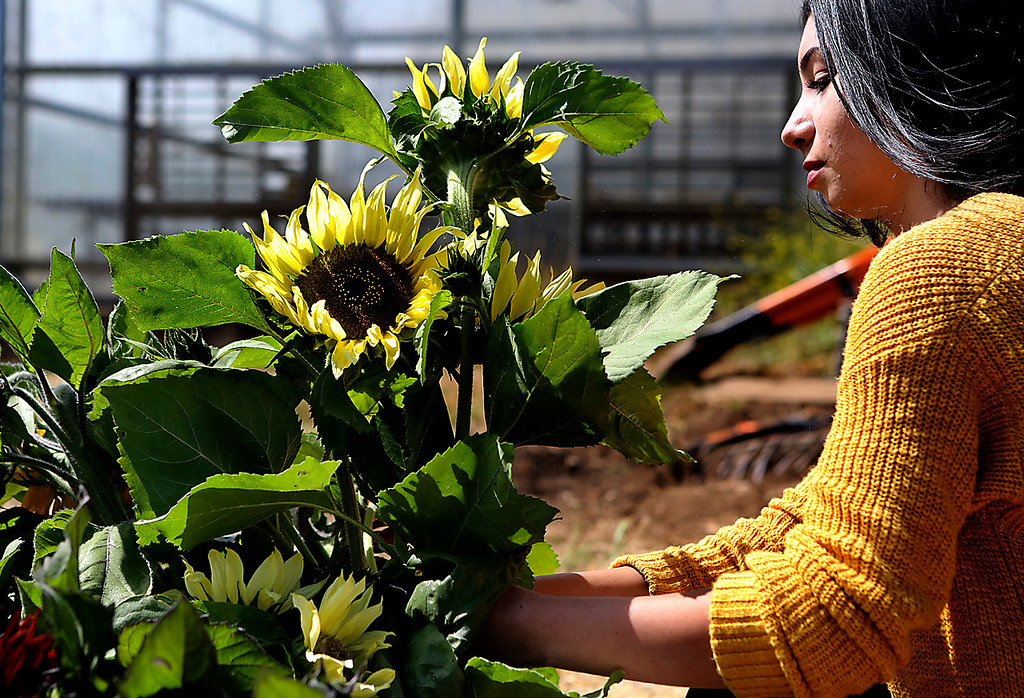 . Rosa Lomeli, whose mother and step-father are field workers from Jalisco, Mexico, cuts sunflowers as she works as part of the paid crew at the Food,What?! garden this week. In its 11th year, Food,What?!,  is a youth empowerment program that has involved close to 500 low-income teens through food, farming and food justice. (Shmuel Thaler � Santa Cruz Sentinel)