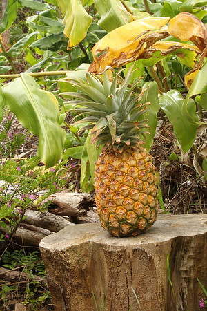 Hawaiian Pineapple On Stump