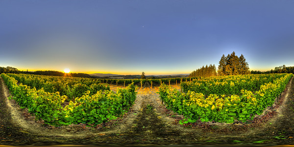 "Pinot Noir Sunrise, Shea Back Block, Newberg, OR. Sunrise shot of Pinot Noir vines in the 'Back Block' vineyard of Shea Wine Cellars just outside Newberg, Oregon on Highway 240. The grape clusters are near ripe and picking has already begun in other vineyard blocks. Oct. 8, 2012. Note: This is an equirectangular panoramic image that can be viewed as an immersive panorama at my gallery at: 360cities.net/profile/billedwards - This panorama got an ""Editor's Pick"" at 360cities.net."