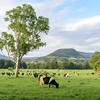 Dairy cattle herd, New South Wales, Australia