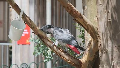 African Congo Grey Parrot