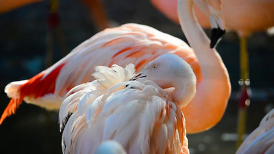 Pink Flamingo (Phoenicopterus ruber) is a beautiful wading bird