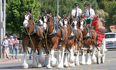 The World Famous Budweiser Clydesdales participated in the 2014 Woodlake Lions Rodeo Parade.