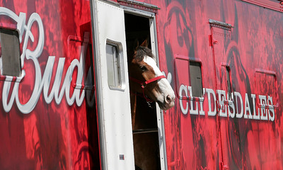 A Budweiser Clydesdale looks out at the Woodlake Lions Rodeo Parade crowd. The Clydesdales were given Saturday afternoon off and performed at the Woodlake Rodeo on Sunday, May 12, 2014.