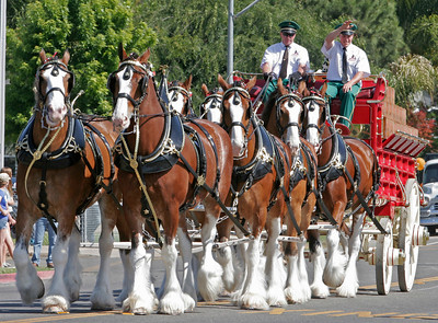 The Budweiser Clydesdale parade up Valencia Blvd. during the 2014 Woodlake Lions Rodeo Parade on Satruday, May 10th.