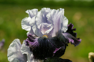Iris up clos.e. Taken at Sutton's Iris Garden during the Porterville Iris Festival on Saturday, April 27, 2013