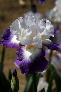 Porterville Iris Festival, Saturday, April 27, 2013,