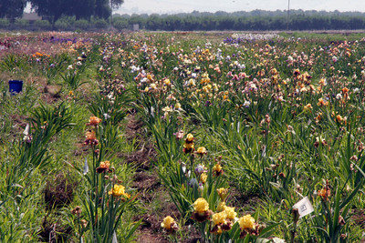 Fields of Iris at the Sutton's Iris Garden outside of Porterville. These are sent to via mail order to customers around the United States. This was taken during the Porterville Iris Festival.