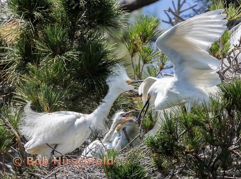 2-egret chicks