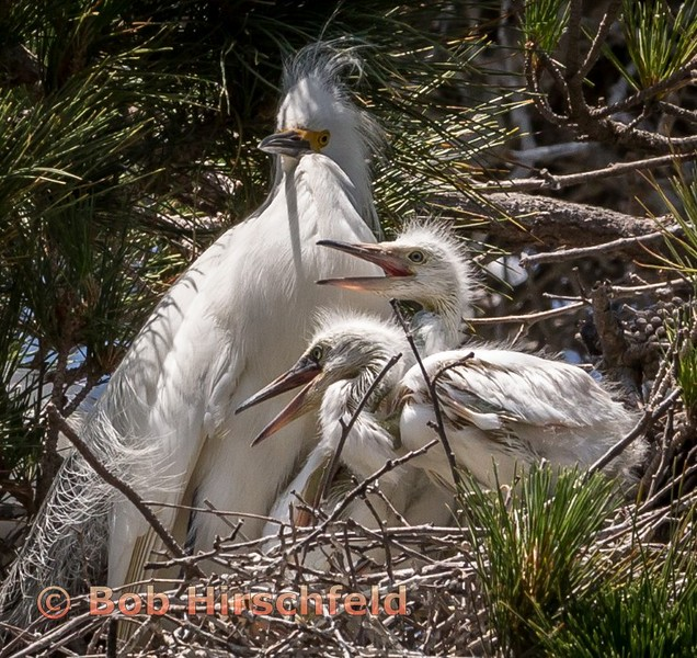 1-egret chicks