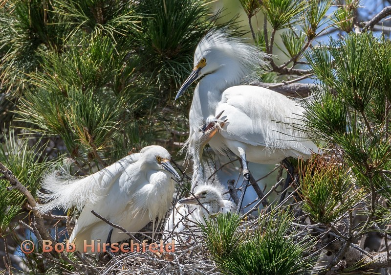 3-egret chicks