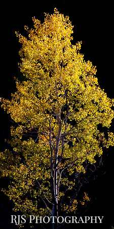 The Aspen in Gold